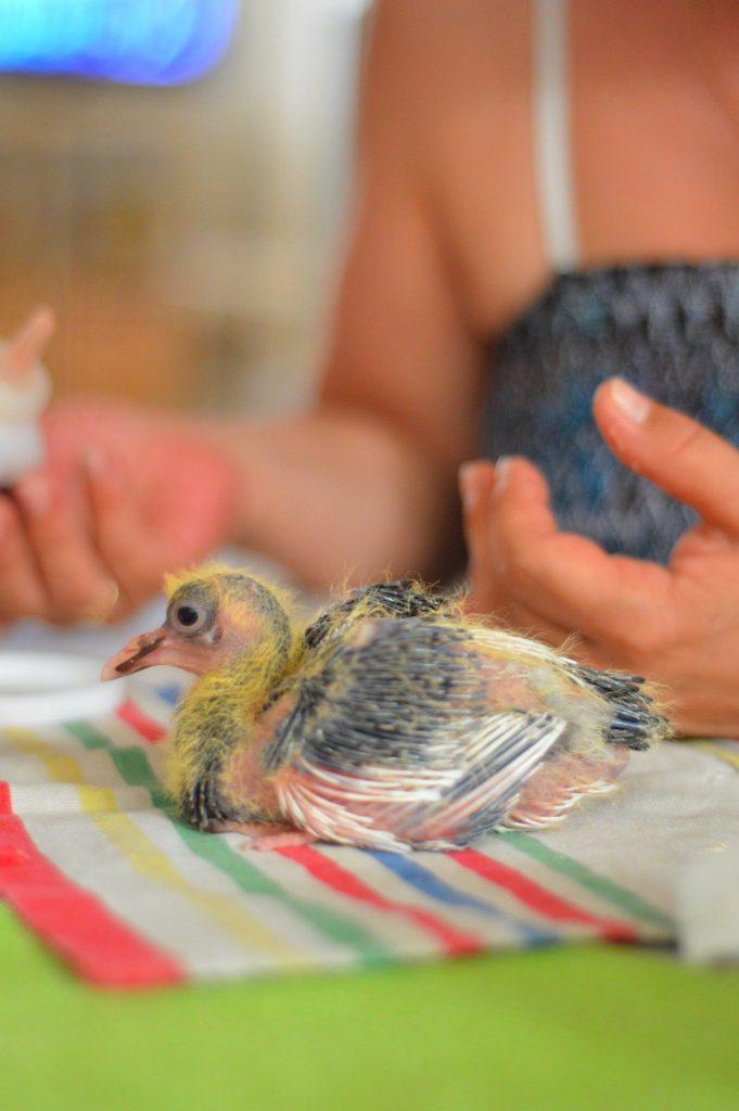 Les choses importantes à connaître sur les bébés pigeons